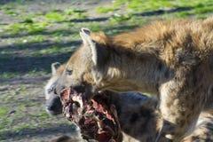 Spotted hyena (Crocuta crocuta) Stock Images