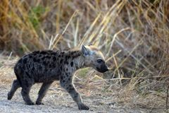 Spotted hyena (Crocuta crocuta) cub Stock Photography