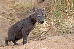 Spotted hyena (Crocuta crocuta) Royalty Free Stock Photo