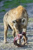 Spotted hyena (Crocuta crocuta). Eats meat Royalty Free Stock Photography