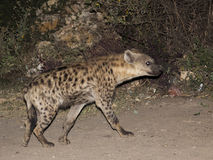 Spotted hyena (crocuta crocuta). Harar. Ethiopia. Royalty Free Stock Photos