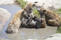 Spotted Hyena (Crocuta crocuta) Stock Images