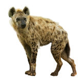 Spotted hyena. (Crocuta crocuta). Isolated over white background royalty free stock images