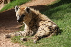 Spotted Hyena - Crocuta crocuta Stock Photography