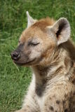 Spotted Hyena - Crocuta crocuta Stock Photos