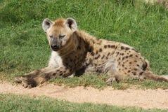Spotted Hyena - Crocuta crocuta Stock Image