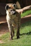 Spotted Hyena - Crocuta crocuta Royalty Free Stock Photography