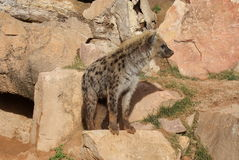 Spotted Hyena - Crocuta crocuta Stock Photo