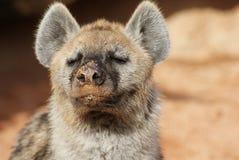 Spotted Hyena - Crocuta crocuta Royalty Free Stock Image