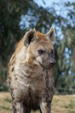 Spotted Hyena - Crocuta crocuta Stock Images