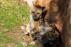 Spotted hyena, crocuta crocuta, laying on the grass royalty free stock image