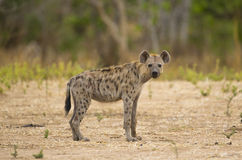 Spotted Hyena (Crocuta crocuta) looking at camera. Side view of Spotted Hyena (Crocuta crocuta) looking at camera Stock Photo