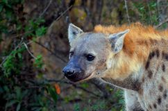 Spotted hyena (Crocuta crocuta). Stock Images