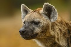 Spotted Hyena, Crocuta crocuta - portrait. Portrait of Spotted Hyena - Crocuta crocuta, closeup picture of powerfull African carnivore Royalty Free Stock Photography