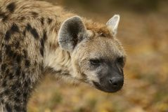Spotted Hyena, Crocuta crocuta - portrait. Portrait of Spotted Hyena - Crocuta crocuta, closeup picture of powerfull African carnivore Stock Photos