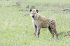 Spotted hyena Crocuta crocuta on savanna looking at camera Royalty Free Stock Photography