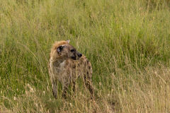 Spotted hyena. (Crocuta crocuta) in serengeti national park, tanzania Stock Photo