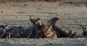 Spotted hyena - crocuta crocuta several hyenas and vultures feeding on the dead elephant in the mud, Mana Pools in Zimbabwe. stock footage
