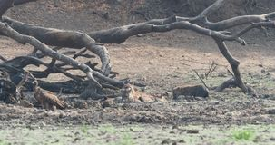 Spotted hyena - crocuta crocuta several hyenas and vultures feeding on the dead elephant in the mud, Mana Pools in Zimbabwe. stock video
