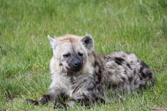 Spotted hyena. (Crocuta crocuta) sitting on grass Stock Image