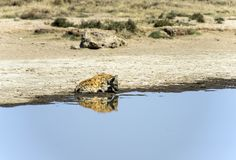 Spotted hyena staring at his reflection in water. Spotted hyena,  Crocuta crocuta  sitting and staring at his reflection in shallow water. Tarangire National Stock Photography