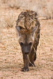 Spotted Hyena (Crocuta crocuta) skulking. A spotted hyena skulks towards the viewer in the Kalahari desert, South Africa stock photography