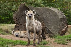 Spotted hyena Crocuta crocuta. Also known as the laughing hyena royalty free stock photography