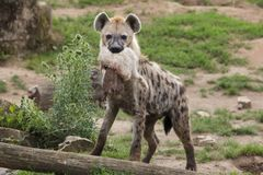 Spotted hyena Crocuta crocuta. Also known as the laughing hyena Stock Images