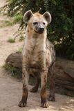 Spotted hyena Crocuta crocuta. Also known as the laughing hyena Stock Photography