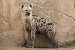 Spotted hyena Crocuta crocuta Royalty Free Stock Images