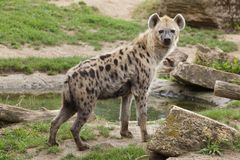Spotted hyena Crocuta crocuta. Also known as the laughing hyena stock photos