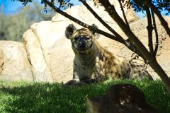 Spotted hyena Crocuta crocuta royalty free stock photo