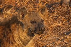 Spotted Hyena Crocuta crocuta. Photographed in Kruger National Park South Africs Stock Photography