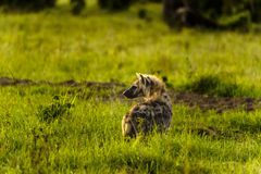 Spotted hyena, Crocuta crocuta, standing in green grass lookin Royalty Free Stock Photos