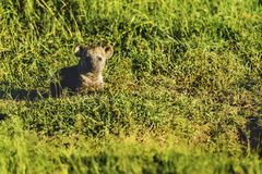 Spotted hyena, Crocuta crocuta, standing in green grass lookin Stock Photos
