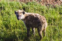 Spotted hyena, Crocuta crocuta, standing in green grass lookin Stock Photography