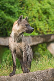 Spotted hyena, Crocuta crocuta. Spotted hyena Crocuta crocuta stands looking sideways Stock Photography