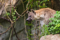 A spotted hyena, Crocuta crocuta Stock Photography