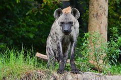Spotted hyena (Crocuta crocuta). Staring Spotted hyena in forest (Crocuta crocuta Royalty Free Stock Photo