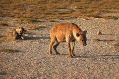 Spotted hyena Crocuta crocuta walking on dry ground with her c stock image