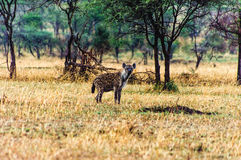 Spotted hyena (Crocuta crocuta) walking Royalty Free Stock Photos