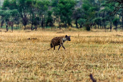 Spotted hyena (Crocuta crocuta) walking Stock Photography