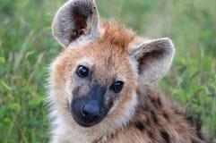 The spotted hyena (Crocuta crocuta) Stock Photography