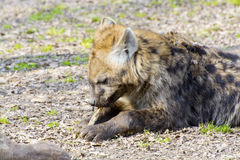 Spotted hyena (Crocuta crocuta) Royalty Free Stock Images