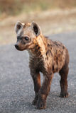 The spotted hyena (Crocuta crocuta) young hyena. On the road stock photo
