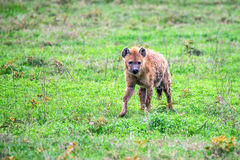 Spotted hyena or crocuta in savannah Royalty Free Stock Photo