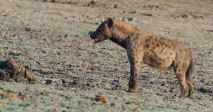 Spotted hyena - crocuta crocuta several hyenas and vultures feeding on the dead elephant in the mud, Mana Pools in Zimbabwe. stock video footage