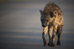 Spotted hyena crossing a road Royalty Free Stock Photography