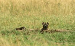 Spotted hyena cub Royalty Free Stock Photos