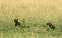 Spotted hyena cub Royalty Free Stock Photo
